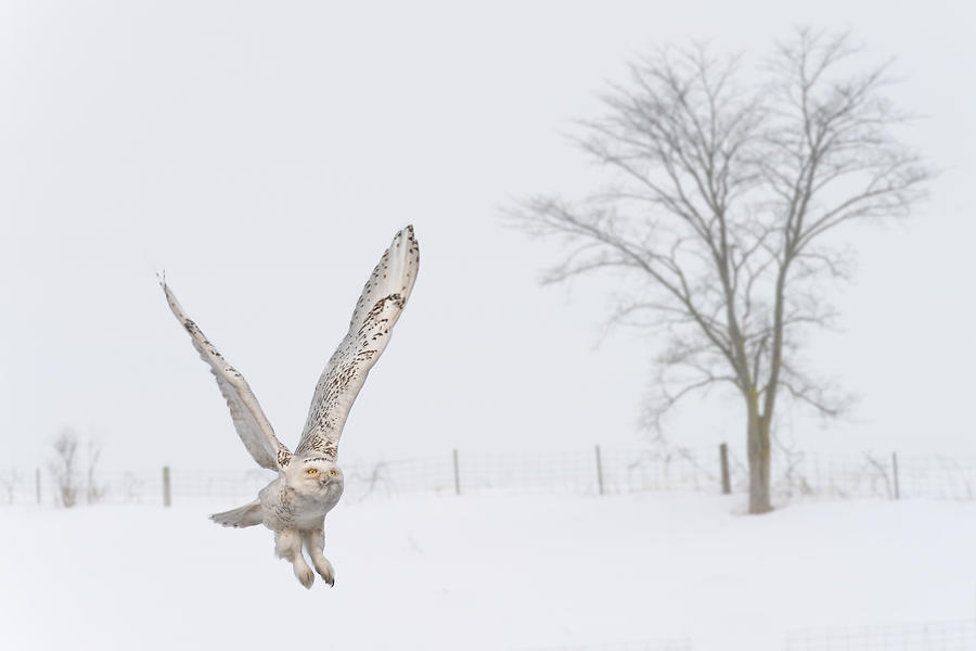Snowy Owl takes Flight by Glenn Springer
