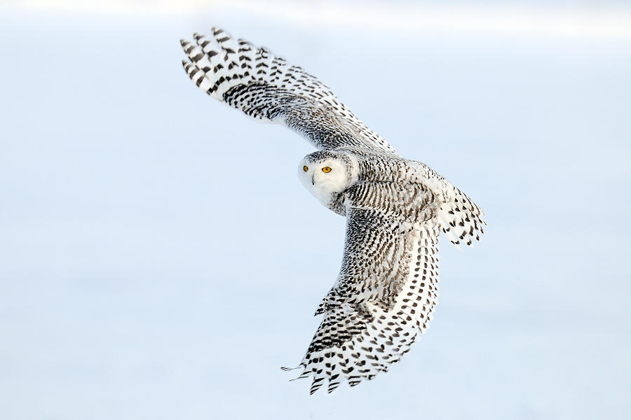Snowy Photograph - Snowy Owl Topside by Scott  Linstead