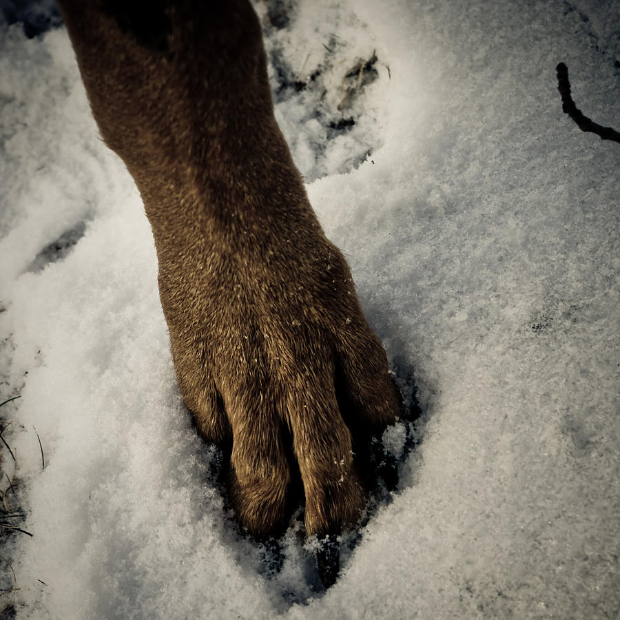 Doberman Photograph - Snowy Paw by Melissa  Riggs