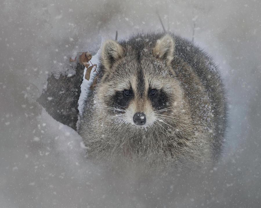 Snowy Raccoon Photograph