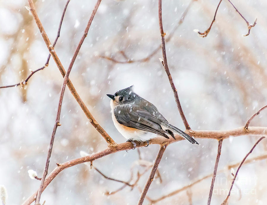 Titmouse Photograph - Snowy Titmouse by Beth Phifer