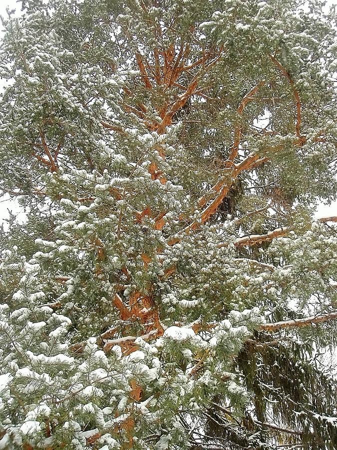 Fir Tree Photograph - Snowy Tree by Beth Akerman