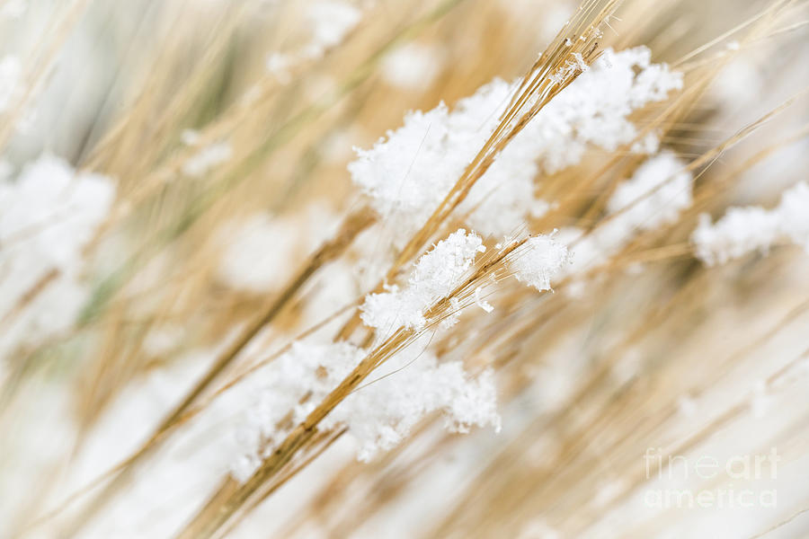 Snowy Weed Photograph by Delphimages Photo Creations