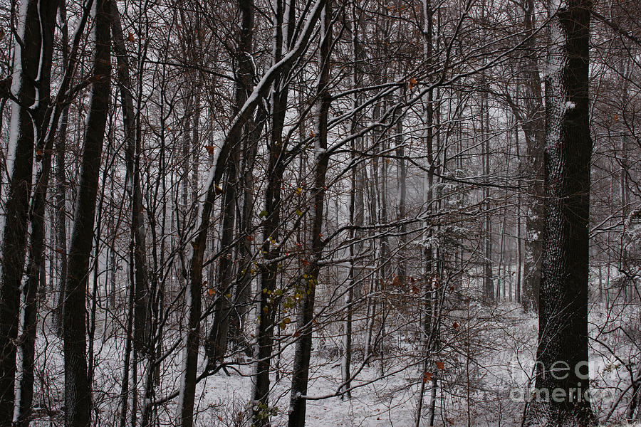 Woods Photograph - Snowy Woods by Linda Shafer