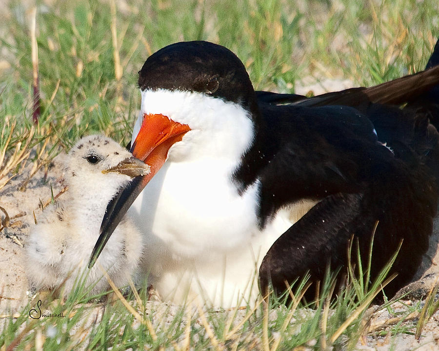 Black Skimmer Photograph - Snuggle by Sally Mitchell