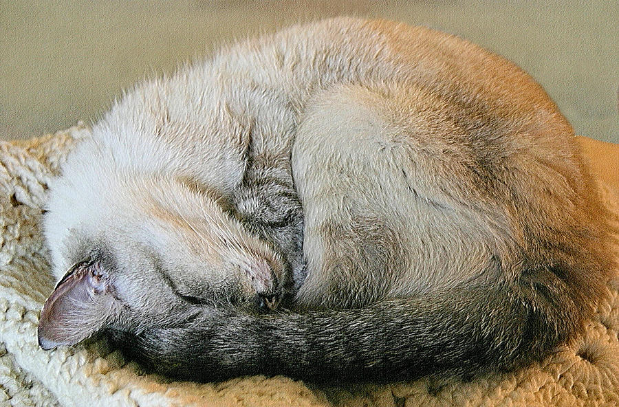 Siamese Photograph - Snugglepuss by Kristin Elmquist