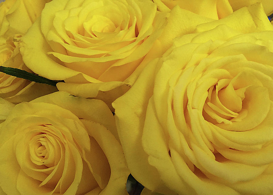 Yellow Roses Photograph - Snuggling Yellow Roses by Sarah Vernon