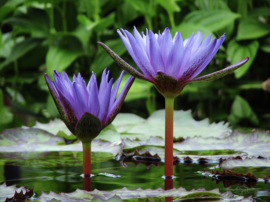 Water Lily Photograph - So Hum - I Am That by Karen Casey-Smith
