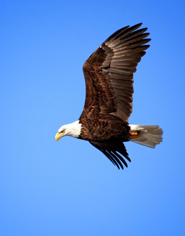 Bald Eagle Photograph - Soaring Bald Eagle by Al  Mueller