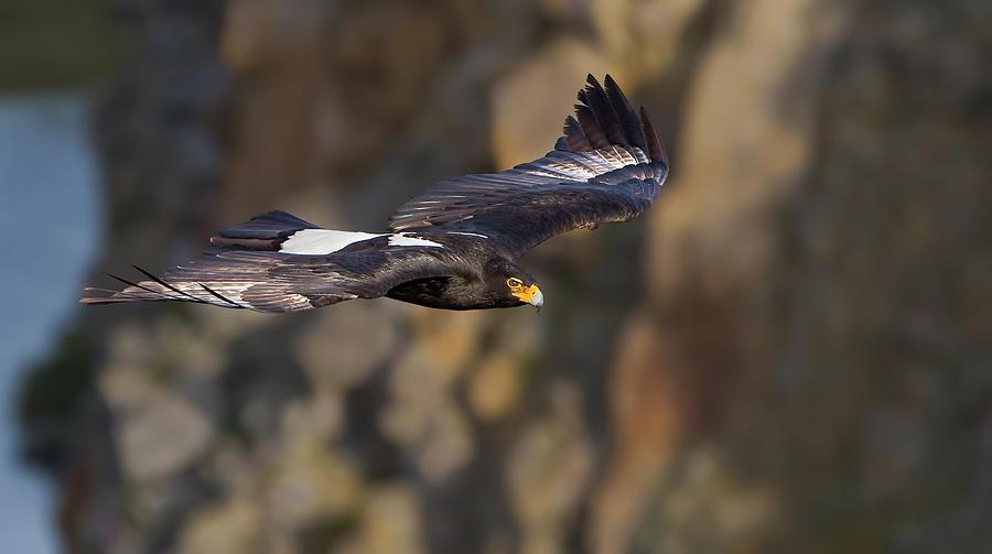 Soaring Eagle Photograph - Soaring Black Eagle by Basie Van Zyl