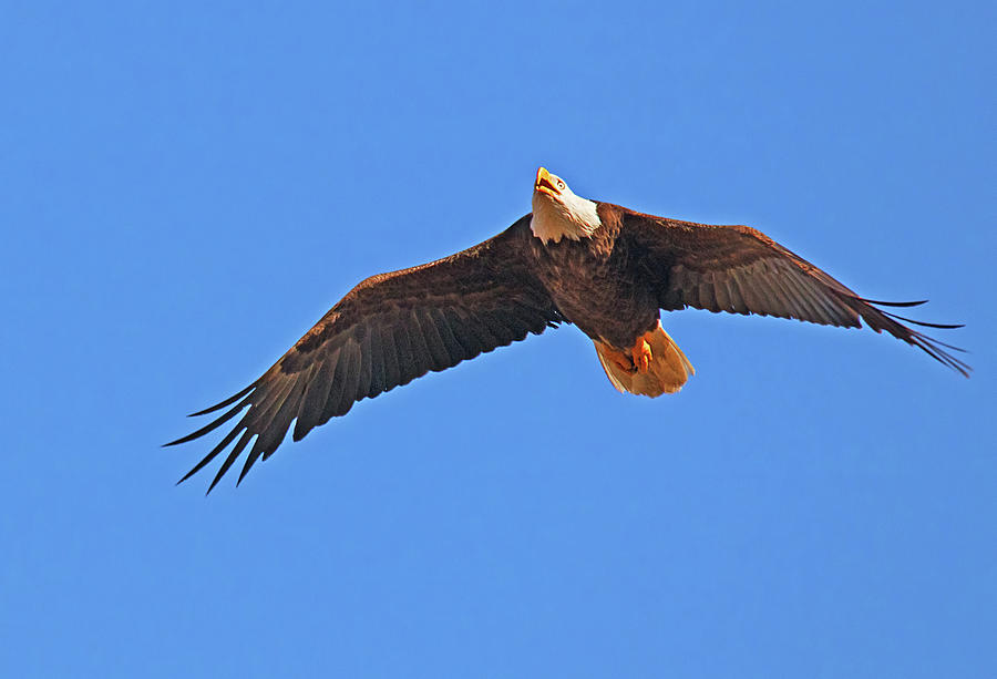 Soaring Eagle by Karl Ford