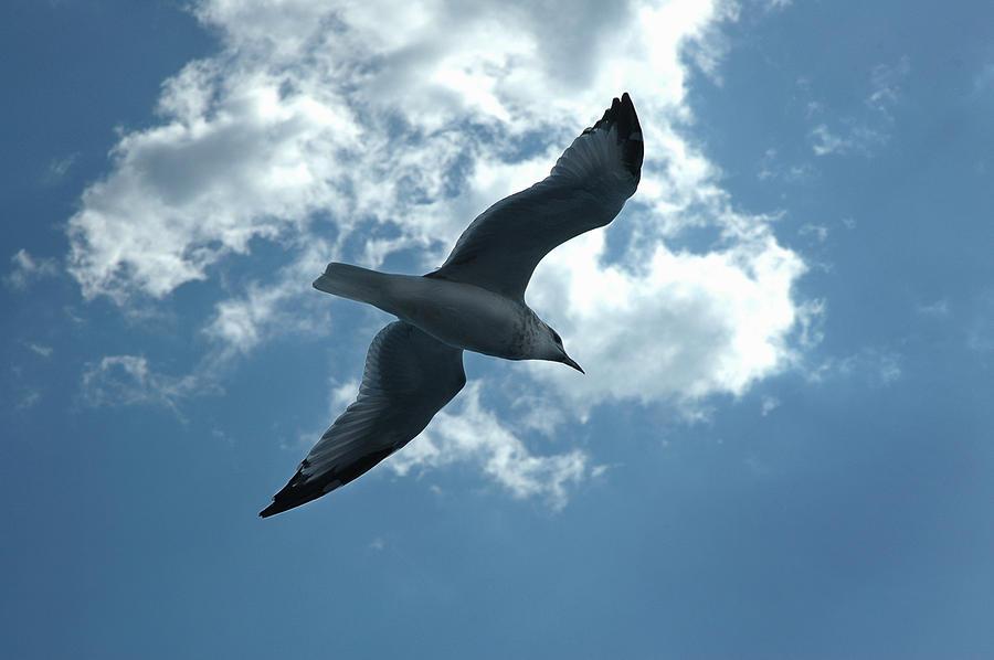 Sea Gull Photograph - Soaring Gull by Frank Mari