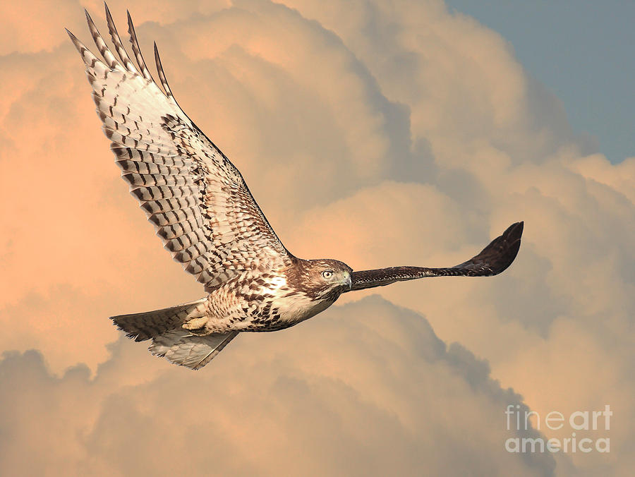 Wingsdomain Photograph - Soaring Hawk by Wingsdomain Art and Photography