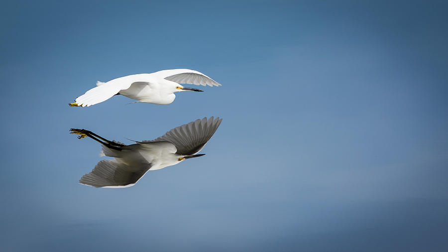 Snowy Egret Photograph - Soaring Over Still Waters by Ted Petrovits III