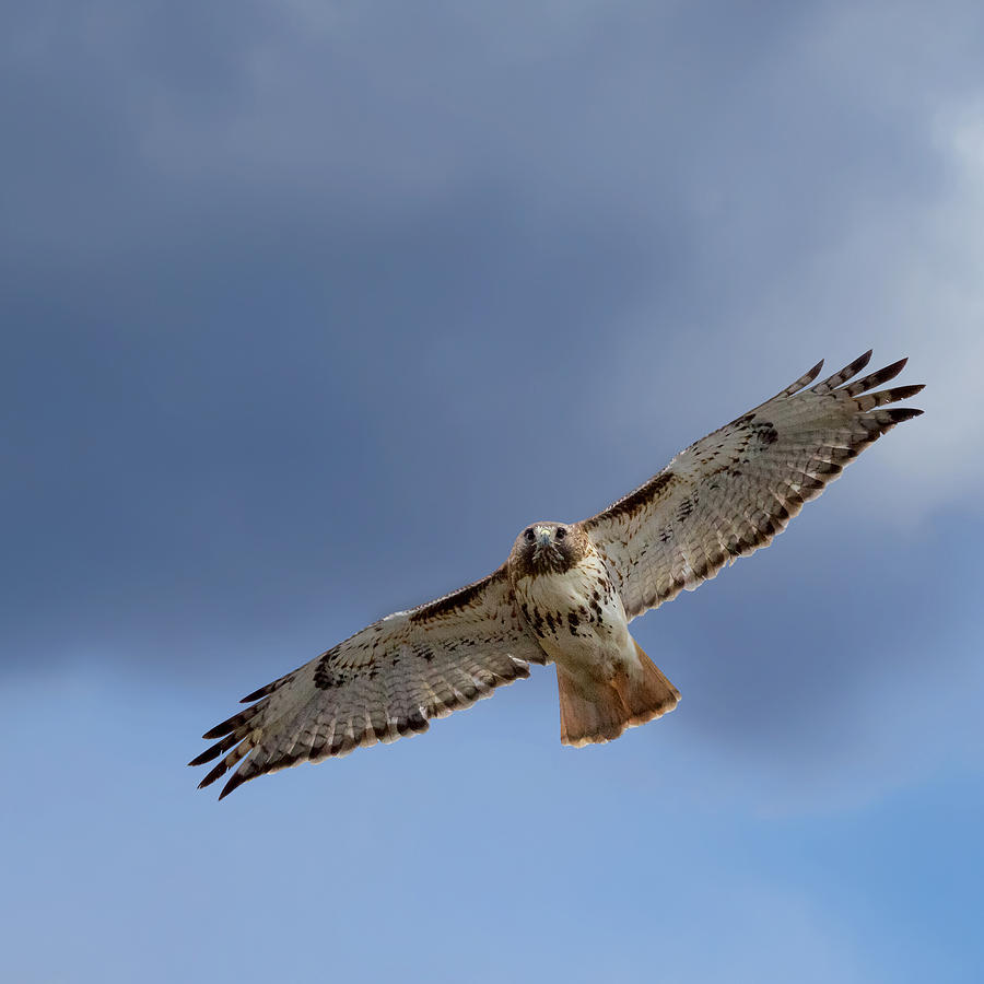Hawk Photograph - Soaring Red Tail Square by Bill Wakeley