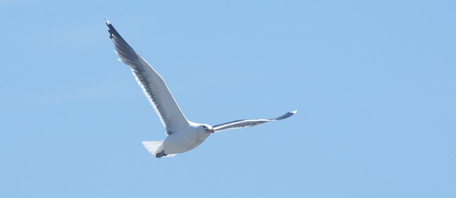 Seagull Photograph - Soaring by Steven Natanson