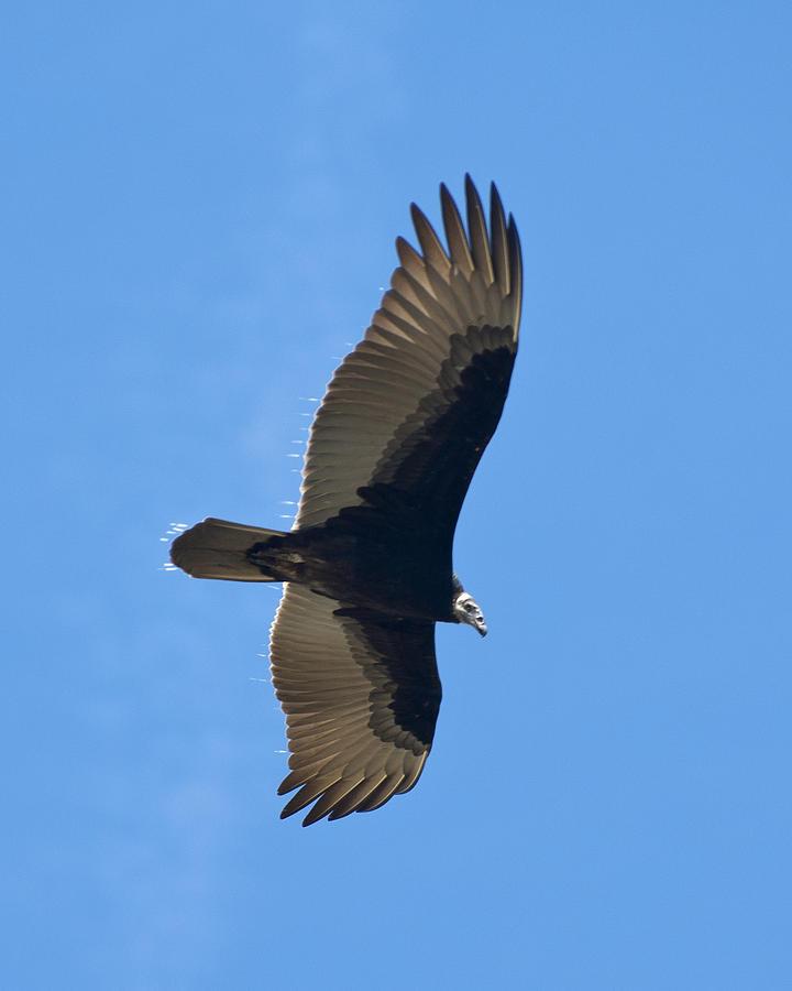 Soaring Turkey Vulture by John Harmon
