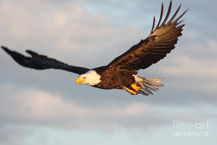 Eagle Photograph - Soaring with Purpose by Dave Knoll