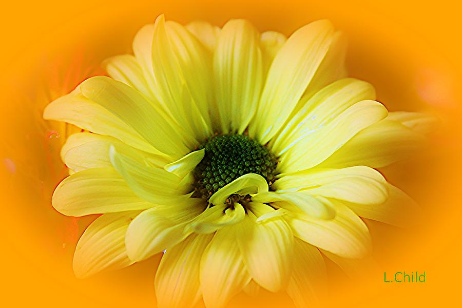 Botanical Photograph - Sodden Petals   by Lori Mahaffey