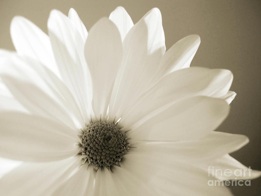 Soft Daisy by Kelly Holm