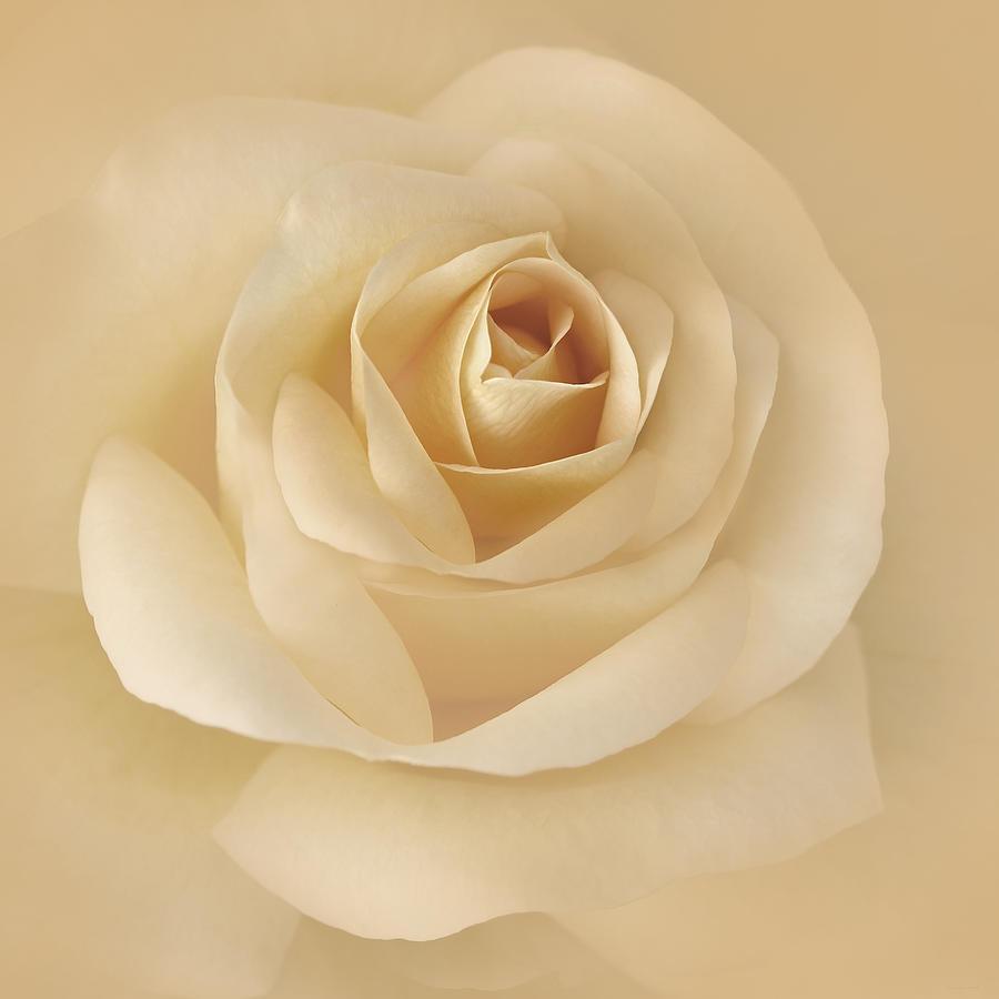 Rose Photograph - Soft Golden Rose Flower by Jennie Marie Schell