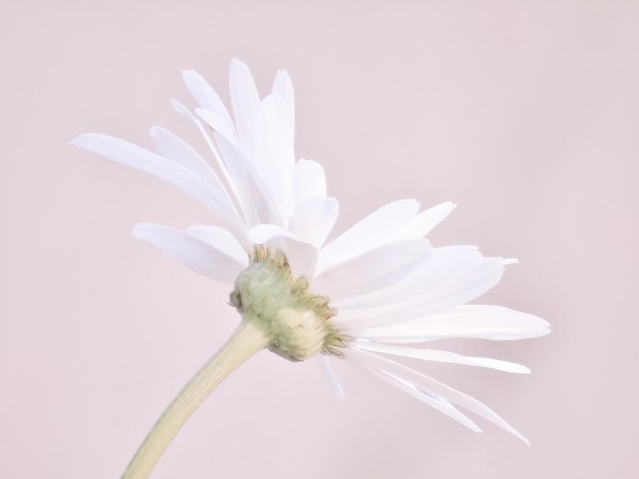 Soft Pink Daisy by Barbara St Jean