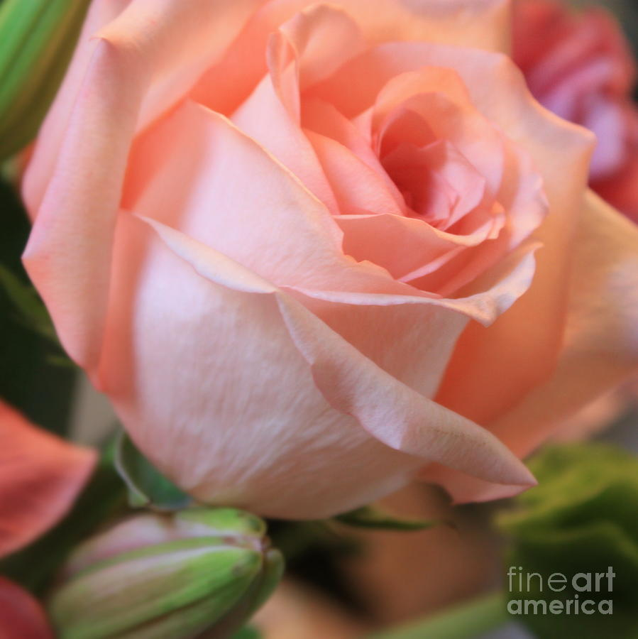 Pink Rose Photograph - Soft Pink Rose by Carol Groenen