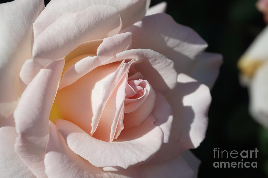 Soft Pink Rose by Eric Suchman