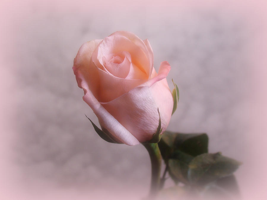 Flowers Digital Art - Soft Pink Rose by Sandy Keeton