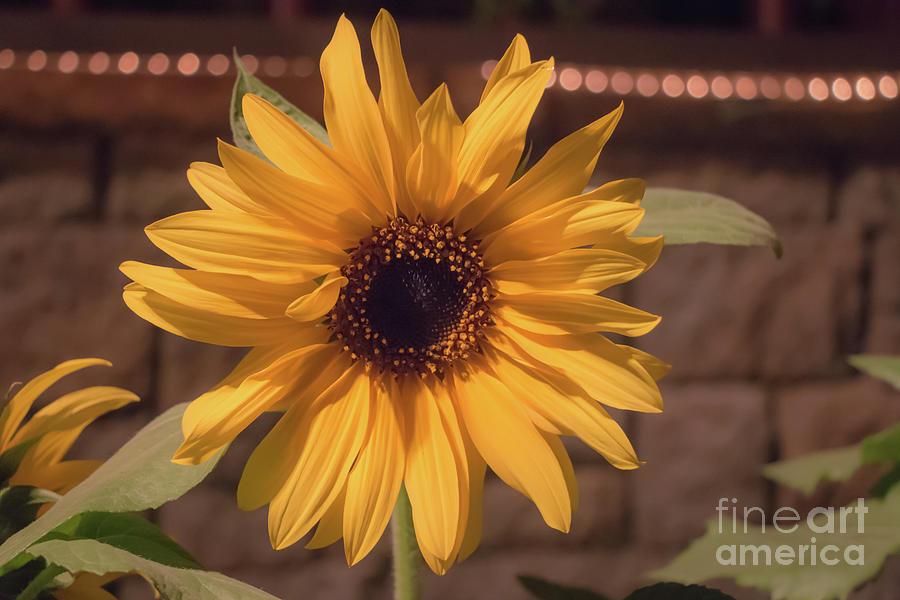 Soft Sunflower Photograph