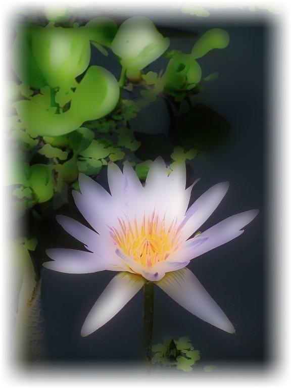 Soft Touch Purple Lotus Photograph