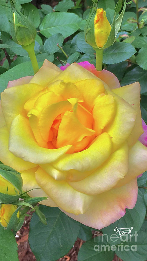 Soft Yellow Rose by GG Burns