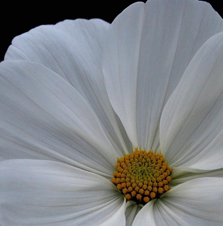 Flower Photograph - Softly White by Marilynne Bull