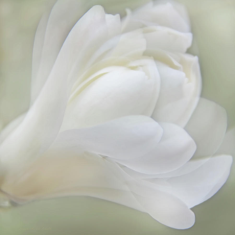 Softness Of A White Magnolia Flower Photograph By Jennie Marie Schell