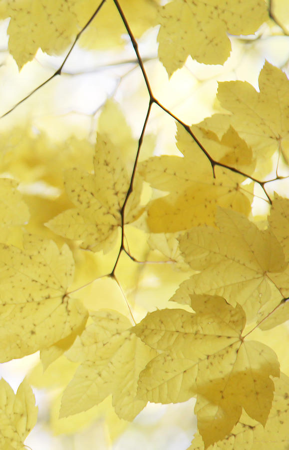 Leaf Photograph - Softness Of Yellow Leaves by Jennie Marie Schell