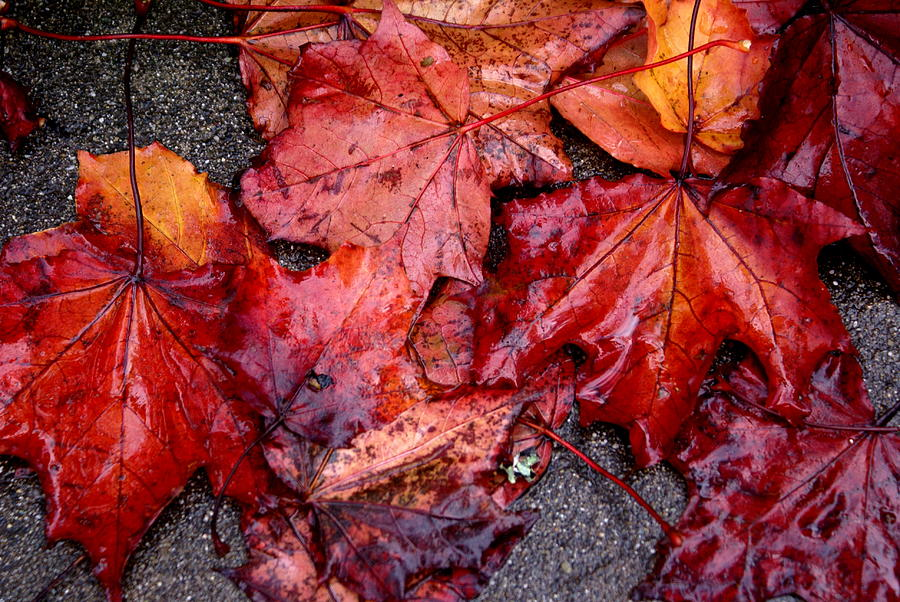 Fall Season Photograph - Soggy Leaves by Sonja Anderson