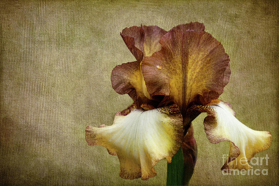 Iris Photograph - Solitaire by Beve Brown-Clark Photography