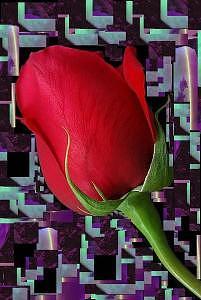 Roses Digital Art - Solitaire Rose by Johnna Crider