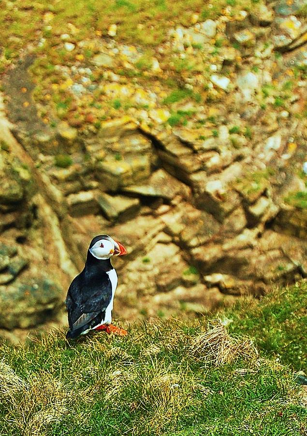 Puffin Photograph - Solitaire by HweeYen Ong