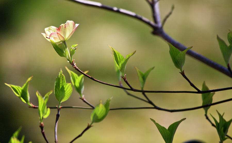 Dogwood Photograph - Solitary Dogwood Bloom by Teresa Mucha