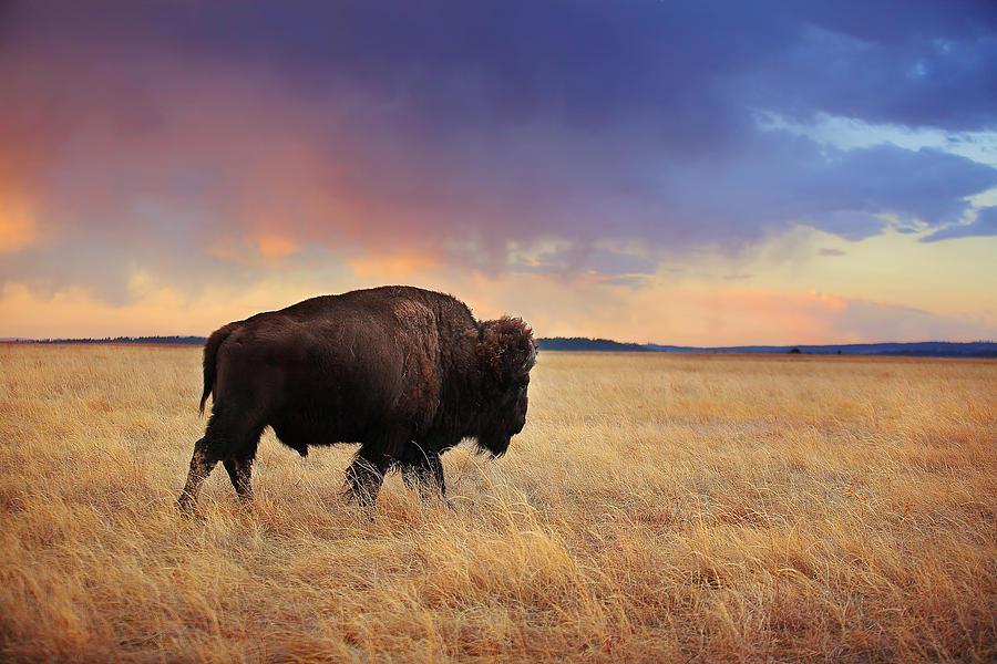 Bison Photograph -  March across the prairie by Deborah Johnson