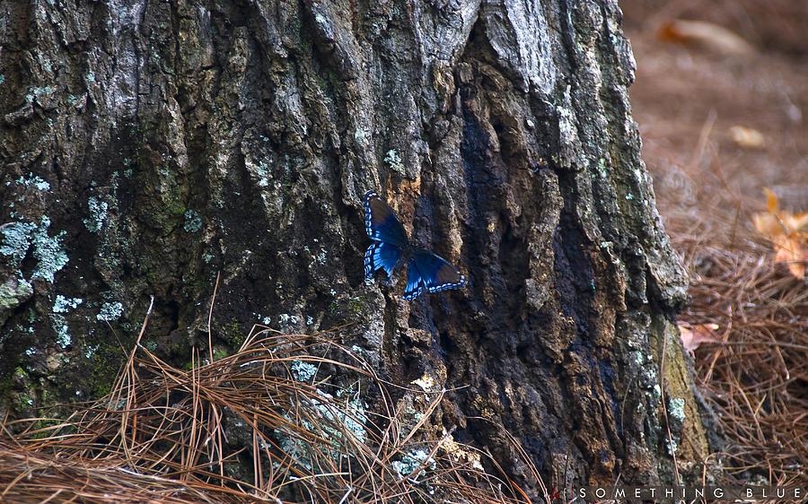 Butterfly Photograph - Something Blue by Jonathan Ellis Keys