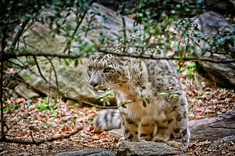 Snow Leopard Photograph - Something Got His Attention by Karol Livote