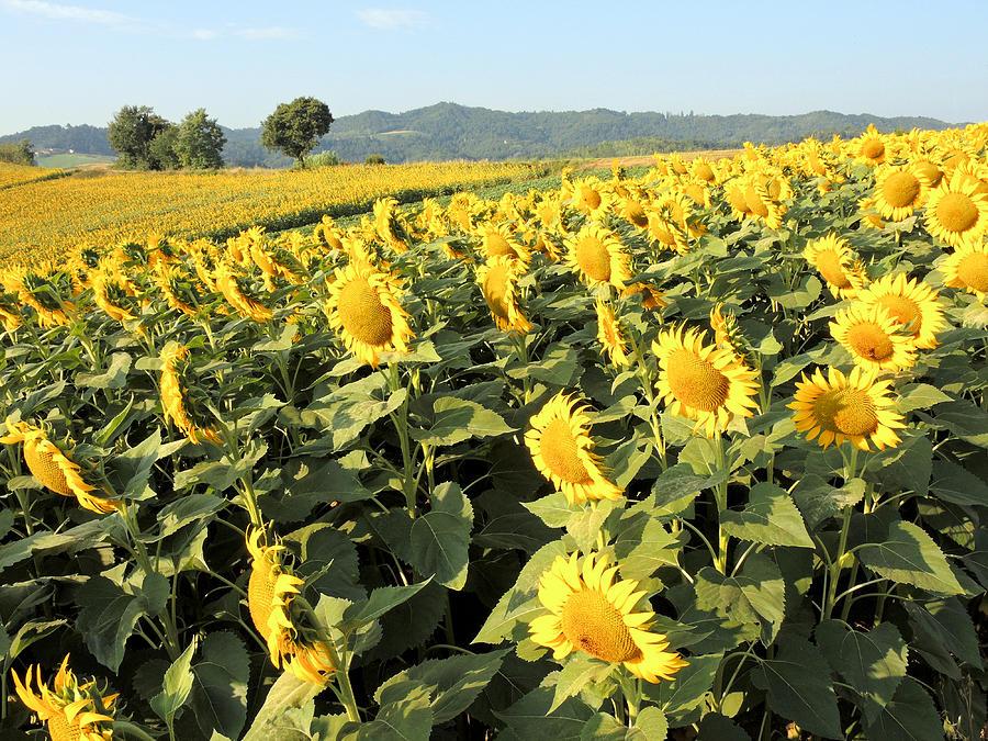 Sunflowers Photograph - Something Yellow by Guido Strambio