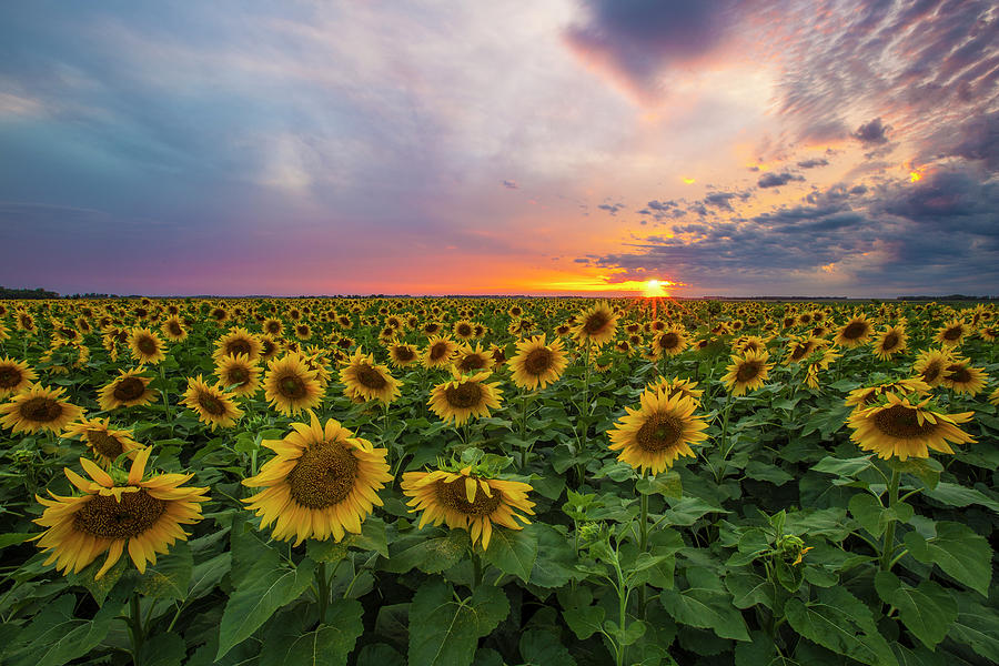Sunflowers Photograph - Somewhere Sunny  by Aaron J Groen