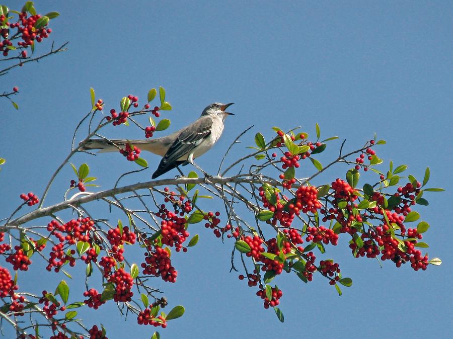 Bird Photograph - Song Of The Mockingbird by Peg Urban
