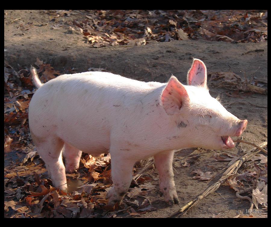 Song Of The Swine Photograph by Alana  Schmitt