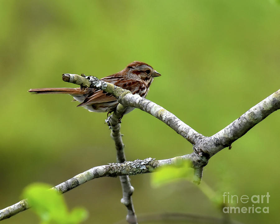 Song Sparrow on Tree Branch by Cynthia Staley