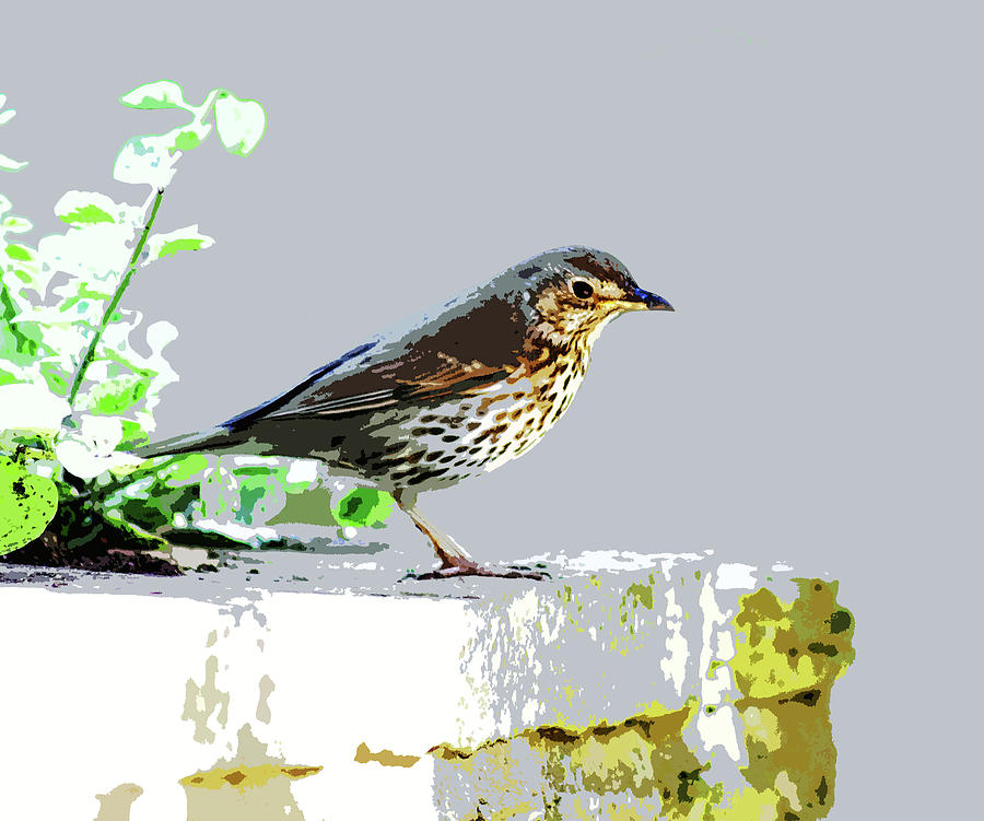 Song Thrush by Mary Castellan