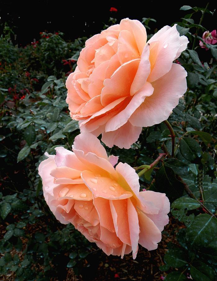 Roses Photograph - Sonya Roses by Rosalie Scanlon